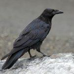 Northwestern_Crow_RWD3