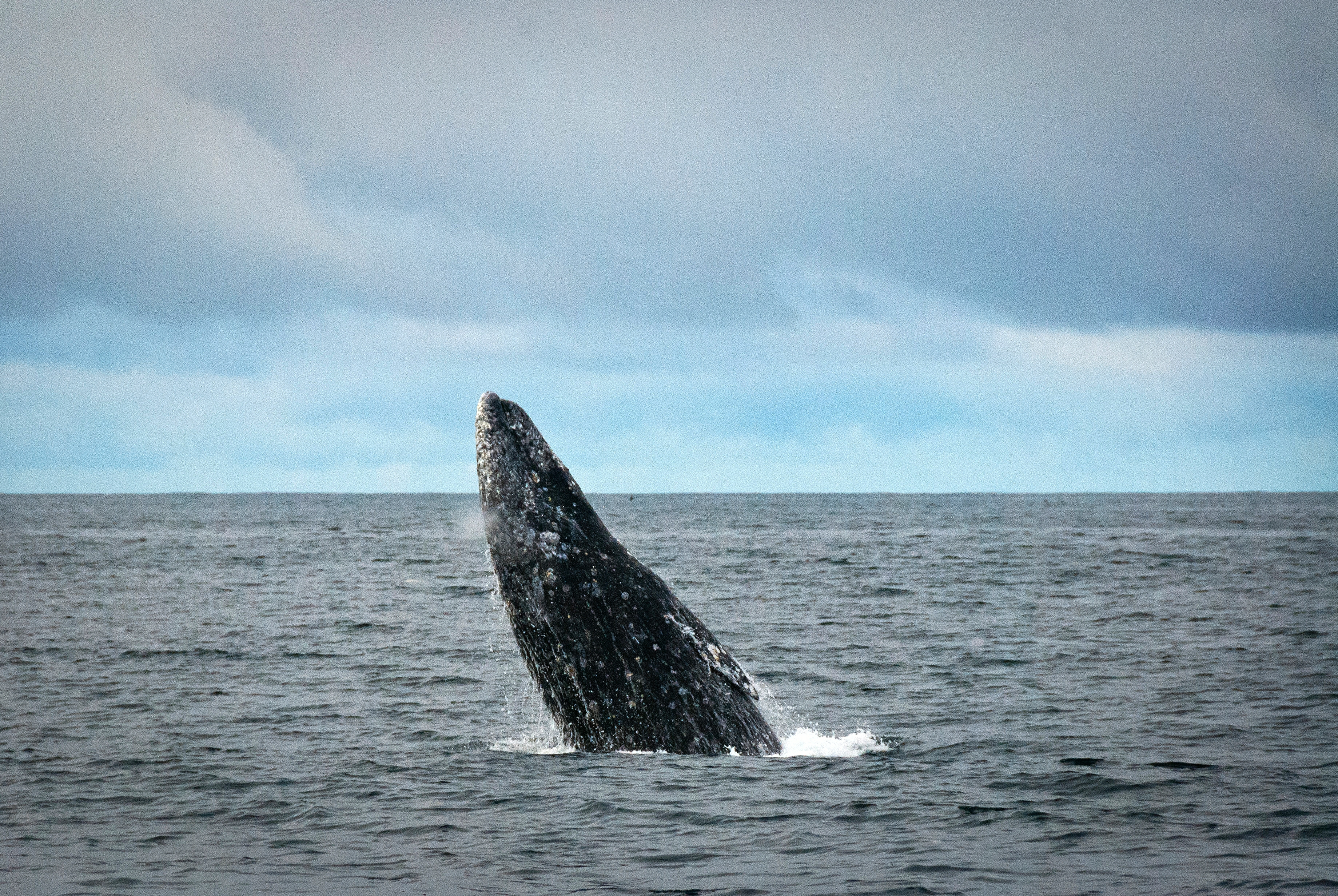 """Gray Whale Breaching"" by Eric Neitzel (Flickr), San Diego"